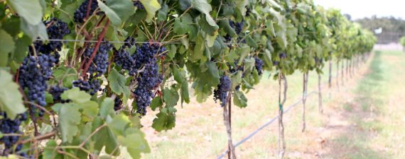 Texas Hill Country Wineries Growing in Popularity